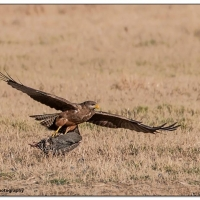 Common Buzzard with catch - Karien le Roux