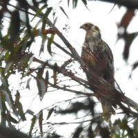 At first this Juv African Harrier-hawk fooled me thinking it was European Honey-buzzard