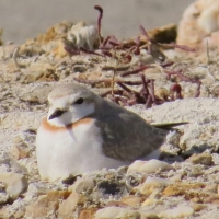 Chestnut-banded Plover breeding at Springfield Saltpans. - Chris van Gass