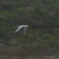 Gull-billed Tern - Mega for De Mond Nature Reserve - Alistair Kilpin