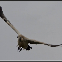 Cape Vulture visiting from De Hoop! Karien le Roux