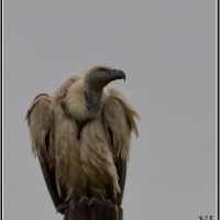 First picture of a Cape Vulture ! Photographer - Karien le Roux