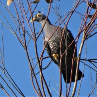 My first picture of African Olive Pigeon and second record for the project!