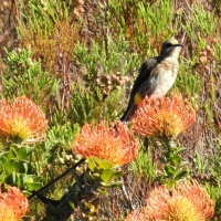 Feeding on Pincushions (Leucospermum)