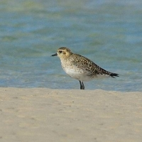 Pacific Golden Plover seen at De Mond - John Graham