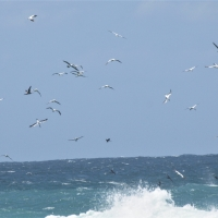 Cape Gannet x400 feeding 100 meters from coast at Agulhas