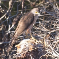 First close-up view of African Goshawk seen at Grashoek river bridge near Mierkraal