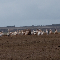 Great White Pelican causing problems with new born lambs