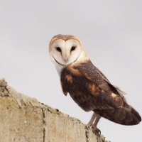 Barn Owl on old munition storage Zeekoeivlei