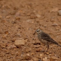 Most common Pipit in Agulhas Plain