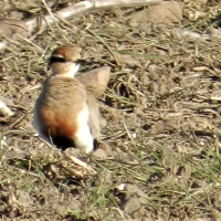 x5 Temmincks Coursers spotted at Skaamgesiggie Bird Sanctuary in Nuwejaars Wetland SMA. Spotted by Liohan Gilliomee.