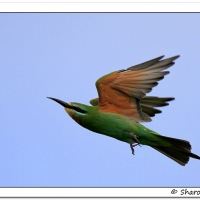 First record of Blue-cheeked Bee-eater in Agulhas Plain - Sharon Brink