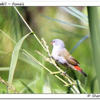 First Swee Waxbill in the Agulhas Plain - Sharon Brink